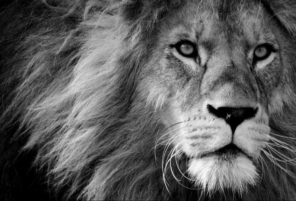 Rêver de lion