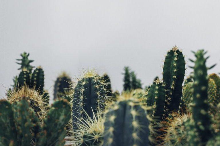 Rêver de cactus